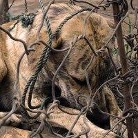 En Indonésie, des chiens subissent des tortures moyenâgeuses pour leur viande
