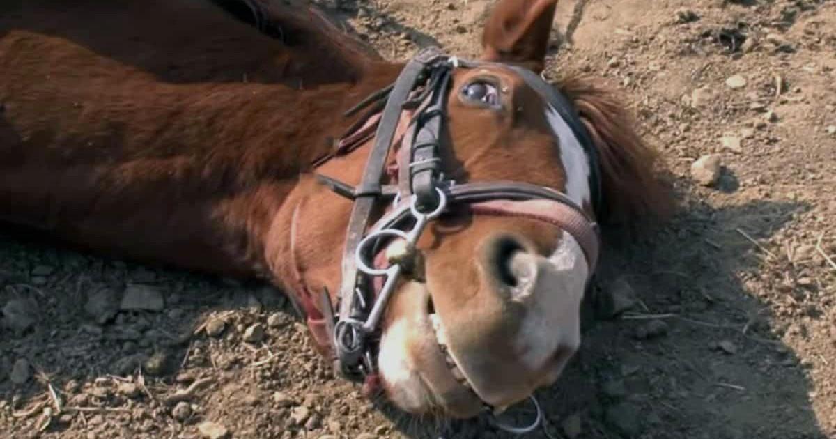 Vidéo d'un cheval qui tombe à chaque fois qu'on veut le monter